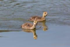 Twee jonge grijze ganzen die anser anser in blauw water zwemmen Royalty-vrije Stock Fotografie
