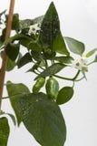 Twee jonge groene paprika'sclose-up Stock Fotografie
