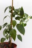 Twee jonge groene paprika'sclose-up Stock Foto's