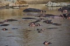 Twee jonge hippos die met hun monden open in een groot hippopool spelen stock fotografie