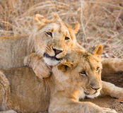 Twee jonge leeuwen stock foto's