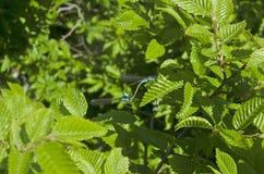 Twee jonge libellen copulate op een boomtak Royalty-vrije Stock Afbeeldingen