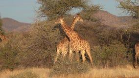 Twee jonge mannelijke giraffen worden gezien vechtend voor de affecties van een wijfje in Botswana stock footage