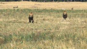 Twee jonge mannelijke leeuwen in coalitie letten op een rivaal in Masai Mara stock videobeelden