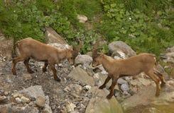 Twee jonge mannetjes van alpiene steenbok stock foto's