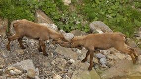 Twee jonge mannetjes van alpiene steenbok royalty-vrije stock fotografie