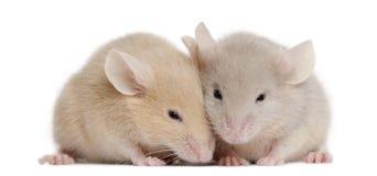 Twee jonge muizen Stock Foto's