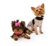 Twee jonge omhoog geklede honden van de Terriër van Yorkshire stock afbeelding
