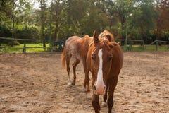 Twee jonge paarden op het weiland Stock Fotografie