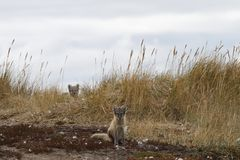 Twee jonge poolvossen, Vulpes Lagopus, in dalingskleuren met één die achter gras, dichtbij hun hol verbergen Royalty-vrije Stock Foto