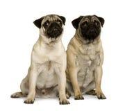 Twee jonge pugs, zitting en omhoog het kijken Stock Afbeelding
