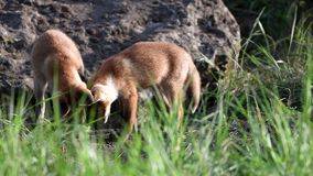 Twee jonge rode vossen die in groung dichtbij zijn hol graven Vulpes stock video