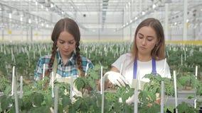 Twee jonge tomaten van de vrouwenband aan stokken in een serre stock videobeelden