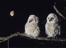 Twee jonge uilen die op boomtak neerstrijken Royalty-vrije Stock Afbeeldingen