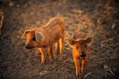 Twee jonge varkens lopen Royalty-vrije Stock Afbeeldingen