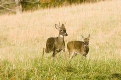Twee jonge whitetailbokken in beweging royalty-vrije stock afbeeldingen