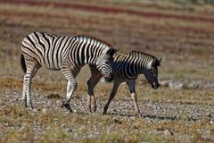 Twee jonge zebras die samen zij aan zij lopen royalty-vrije stock foto
