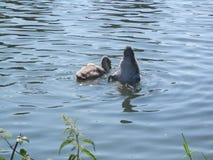 Twee Jonge zwanen die in Rivier Theems voeden stock afbeelding