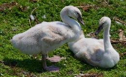 Twee jonge zwanen samen op het gras royalty-vrije stock afbeeldingen