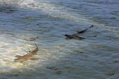 Twee jonge zwarte haaien van de puntertsader Stock Fotografie