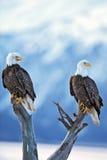 Twee Kaal Eagles  Royalty-vrije Stock Fotografie