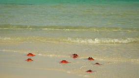 Twee kaders in video Tropisch wit zand met rode zeester in duidelijk water Zeester op phu quoc Eiland De vrouw in a stock video