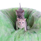 Twee kale sfinxkatten Stock Foto's