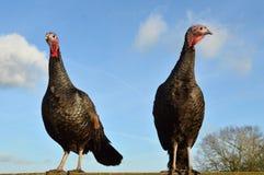Twee Kalkoenen Royalty-vrije Stock Fotografie