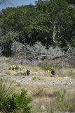Twee Kalkoenen die in de wildernis lopen stock afbeelding