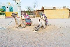 Twee Kamelen Royalty-vrije Stock Foto's