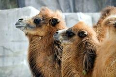 Twee Kamelen royalty-vrije stock foto