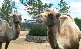 Twee kamelen in de dierentuin Stock Afbeelding