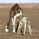 Twee kamelen het weiden Royalty-vrije Stock Foto's