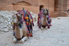 Twee kamelen in Petra, Jordanië Stock Foto's