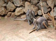 Twee kangoeroes op het zand royalty-vrije stock fotografie