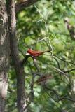 Twee kardinalen Royalty-vrije Stock Afbeelding