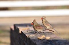 Twee kardinalen Stock Foto