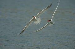 Twee Kaspische sternen vechten voor de vissen Stock Fotografie