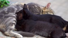 Twee katje het voeden van een kat Royalty-vrije Stock Foto