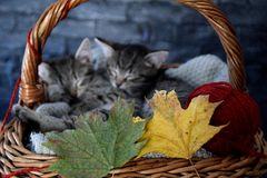 Twee katjes die in een rieten mand met bladeren en rode bal van strin slapen Stock Afbeeldingen