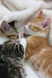 Twee katjes die samen slapen Stock Afbeelding