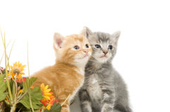 Twee katjes en bloemen Royalty-vrije Stock Fotografie