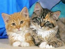 Twee Katjes het letten op Royalty-vrije Stock Foto's
