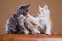 Twee katjes het spelen Stock Fotografie