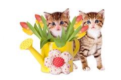 Twee katjes met gele gieter en tulpen Royalty-vrije Stock Foto