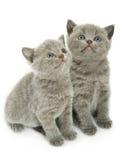 Twee katjes over wit Stock Afbeelding