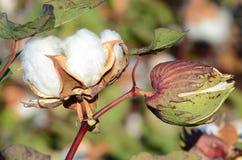 Twee Katoenen Bollen die klaar voor oogst worden royalty-vrije stock foto's