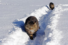 Twee katten in de diepe sneeuw Royalty-vrije Stock Foto's