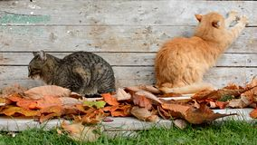 Twee katten in de tuin in de herfstbladeren stock video