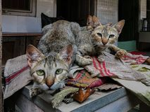 Twee katten die aan de camera met waakzaam oog kijken stock fotografie